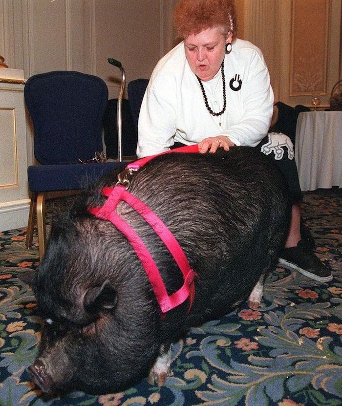 lulu the pig